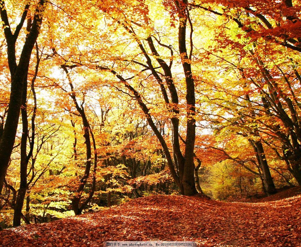 秋天的枫树 秋季 落叶 金黄 枫叶 树林 树木 红叶 自然风景