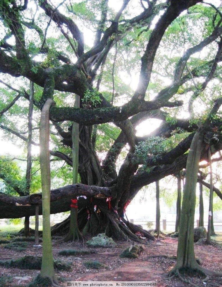 奇树 阳塑 榕树 树木 树枝 绿叶 绿色 叶子 千年老树 树木树叶 生物