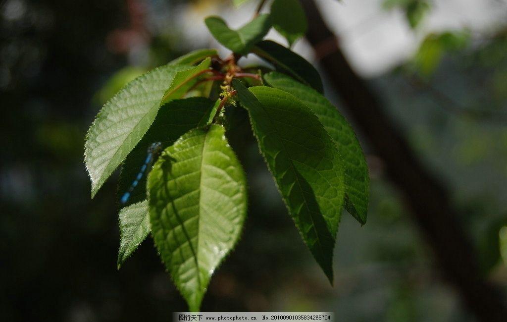 树叶 绿色 树叶形状 树枝 摄影 设计素材 树木树叶 生物世界 300dpi j