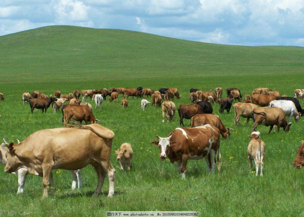 草原黄牛 自然风景 自然景观 摄影