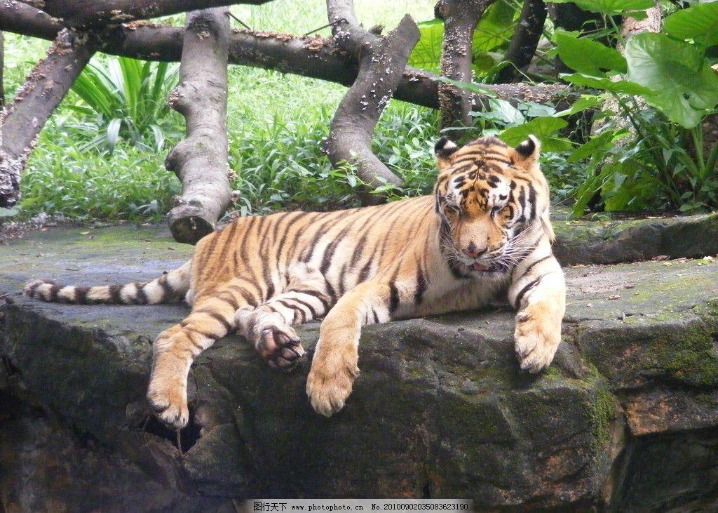 华南虎 动物 老虎 野生动物 生物世界 摄影 72dpi jpg