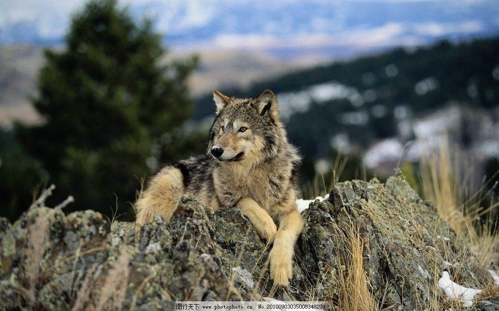 野狼 野狗 森林 山 野生动物 生物世界 摄影