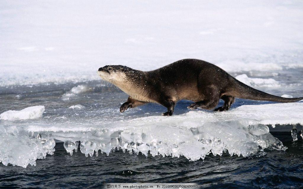 海豹 海狗 北极生物 极地生物
