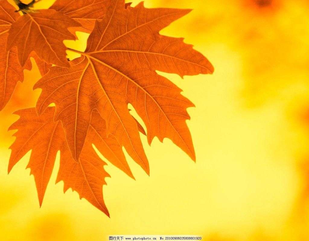 生物世界 树木树叶  枫叶高清图片 枫叶 树叶 落叶 红叶 金黄 局部