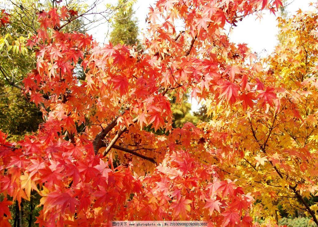 红叶 风景 旅游 树林 秋林 红树木 枫树 金秋 观赏 摄影 国内风光集2