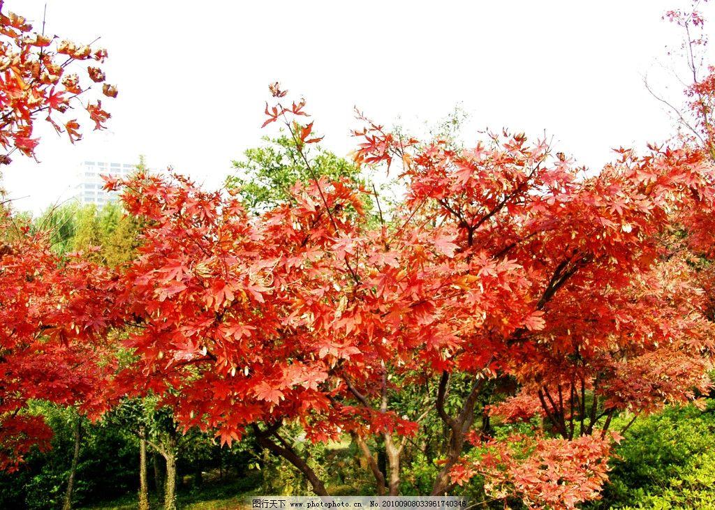 红叶 风景 旅游 树林 秋林 红树木 枫树 金秋 观赏 摄影 国内旅游图片