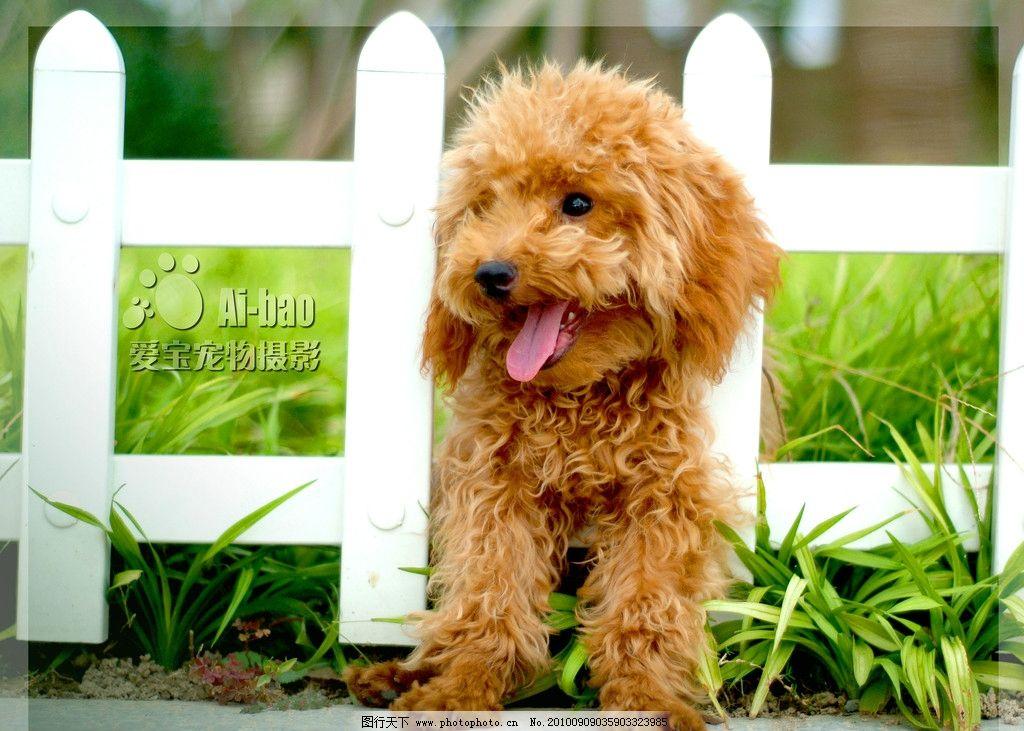 可爱狗狗 狗 摄影 宠物 美图 桌面 泰迪 贵宾 红贵宾 家禽家畜 生物