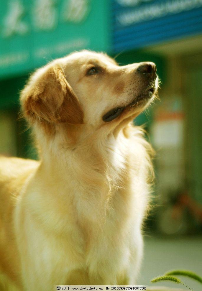 可爱狗狗 狗 摄影 宠物 美图 金毛 桌面 家禽家畜 生物世界 72dpi jp