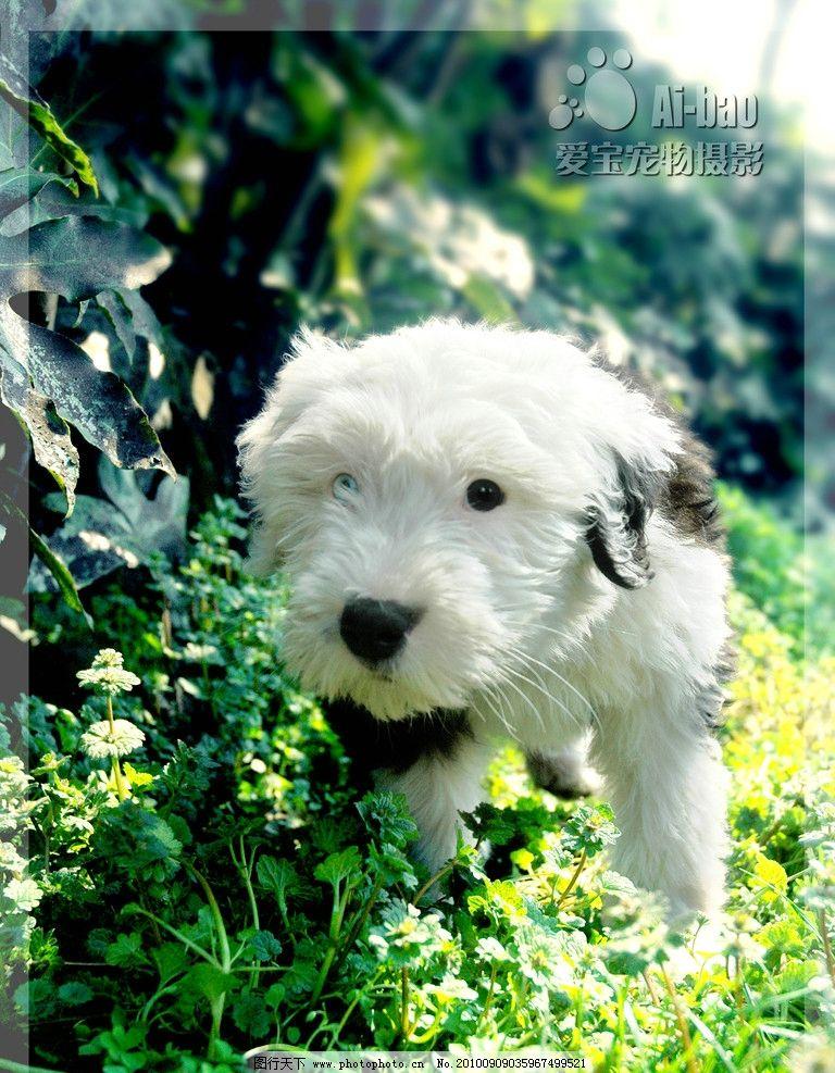 可爱狗狗 狗 摄影 宠物 美图 桌面 合影 古代牧羊犬 古牧 家禽家畜
