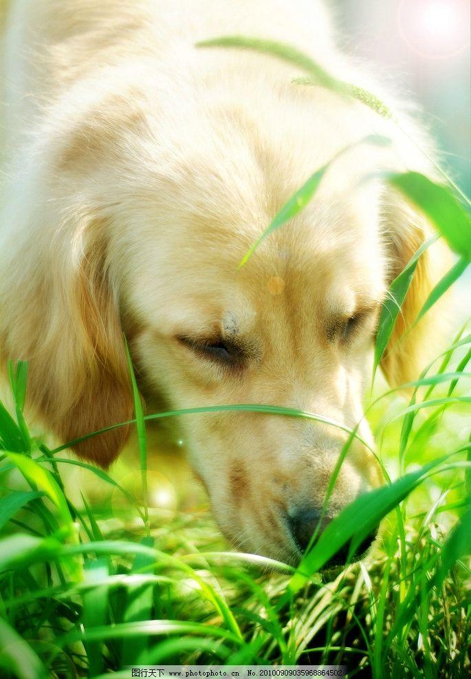 可爱狗狗 狗 摄影 宠物 美图 金毛 桌面 家禽家畜 生物世界 72dpi jpg