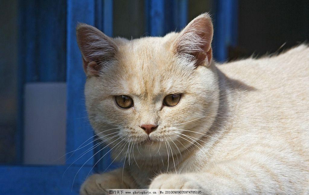 猫咪 肥猫 猫 动物的脸 小动物 动物摄影 动物天地 动物素材 动物