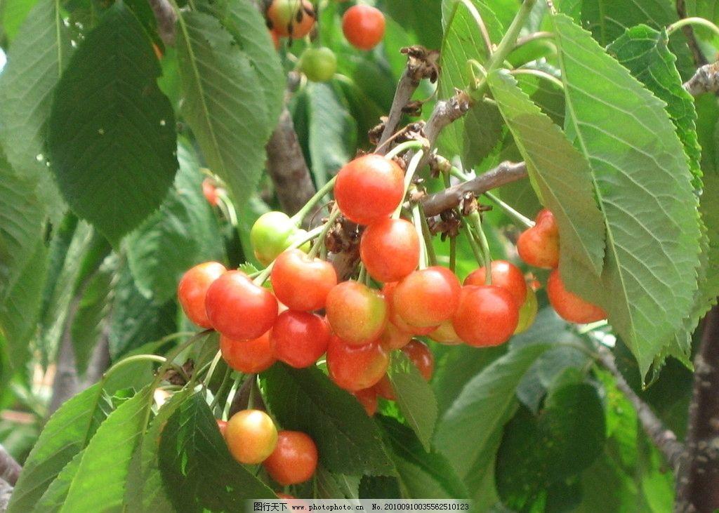 樱桃 樱桃树 自然 美景 树 设计 叶子 树叶 水果 生物世界 摄影 180