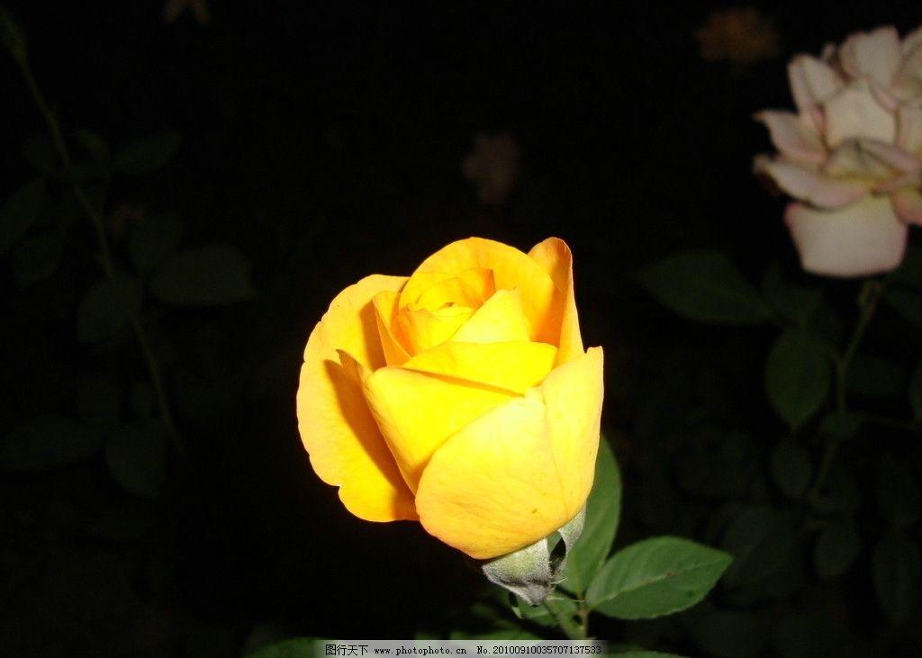 2016 微信头像风景花朵 玫瑰