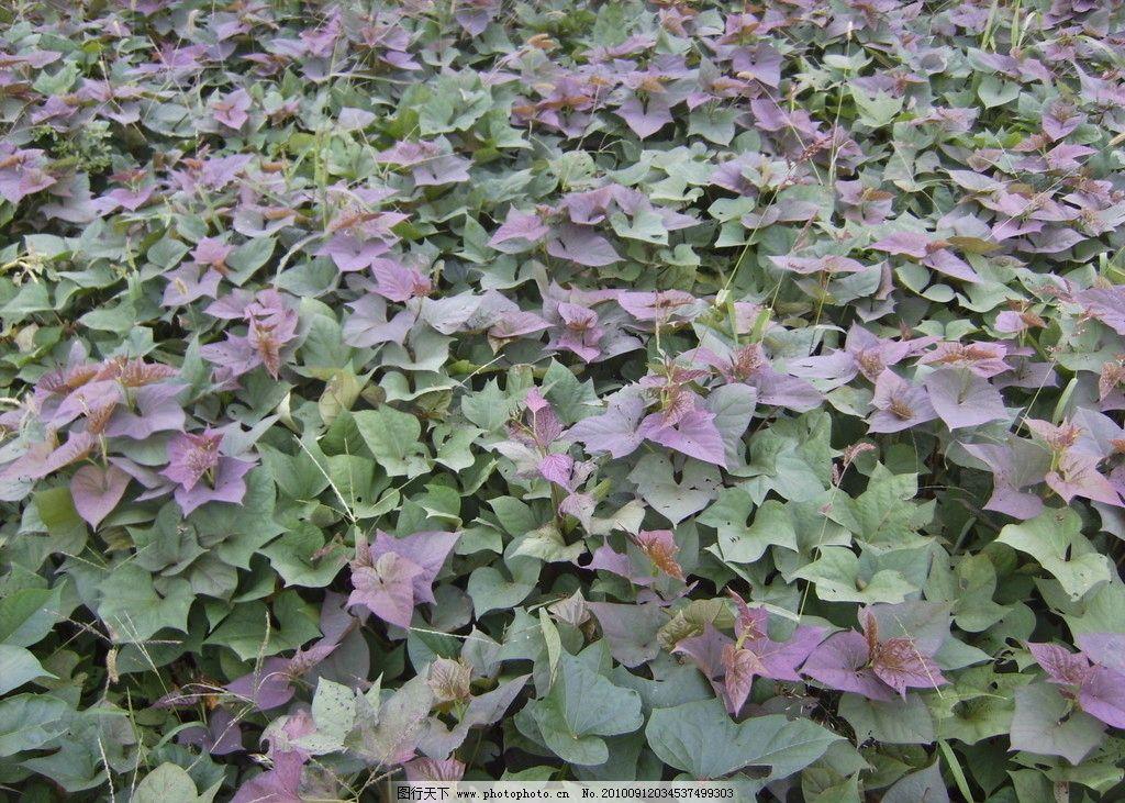 优质红薯品种大田景色图片