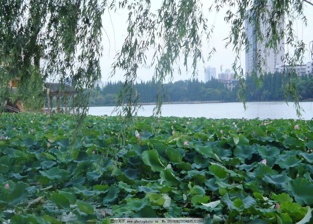 荷塘 荷叶 莲花 荷花 芙蓉 柳树 柳条 绿树 莲蓬 摄影 自然风景