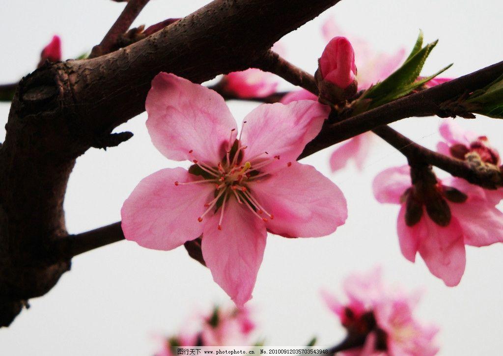 粉红桃花图片