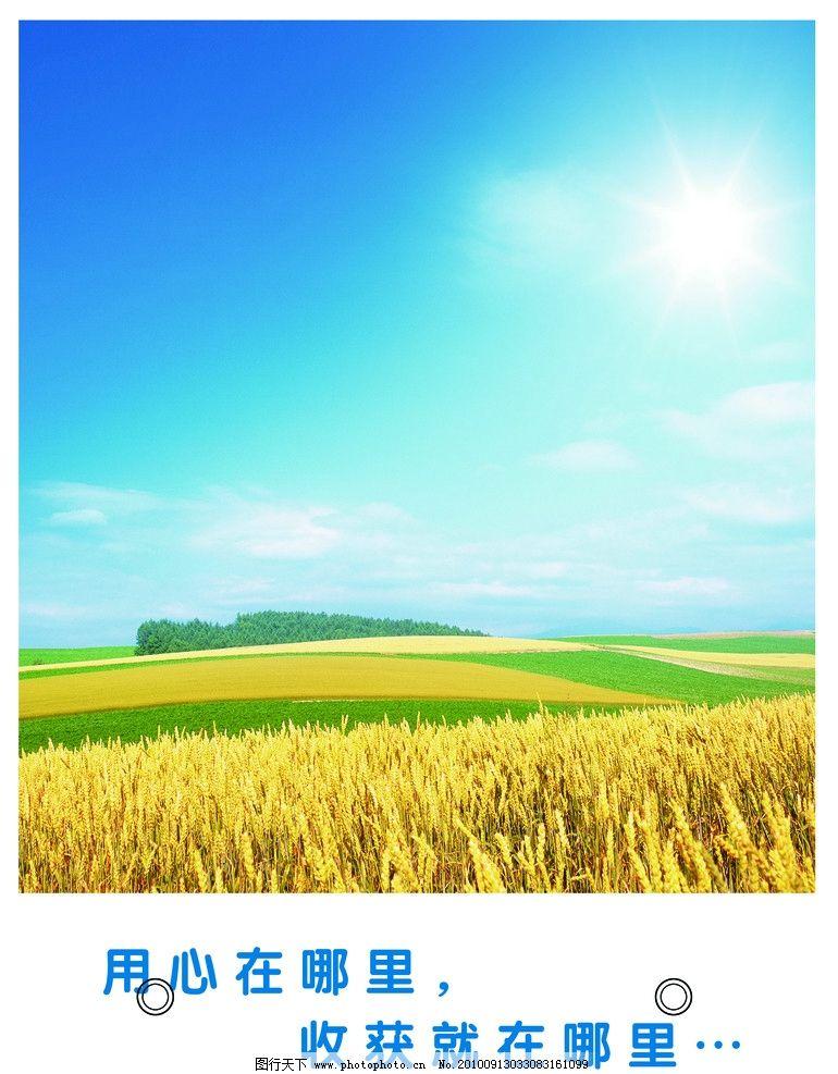 田野 稻田 稻谷 美丽的风景 平原 树 黄色 丰收 烈日 太阳