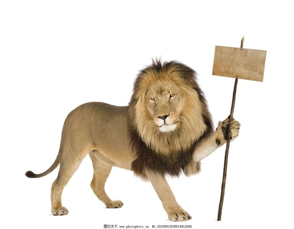 狮子高清图片_野生动物