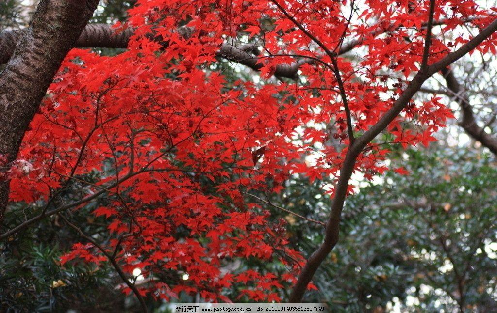 秋叶 红叶 秋色 秋天 秋天景色 树木 树枝 自然 风光 自然风光