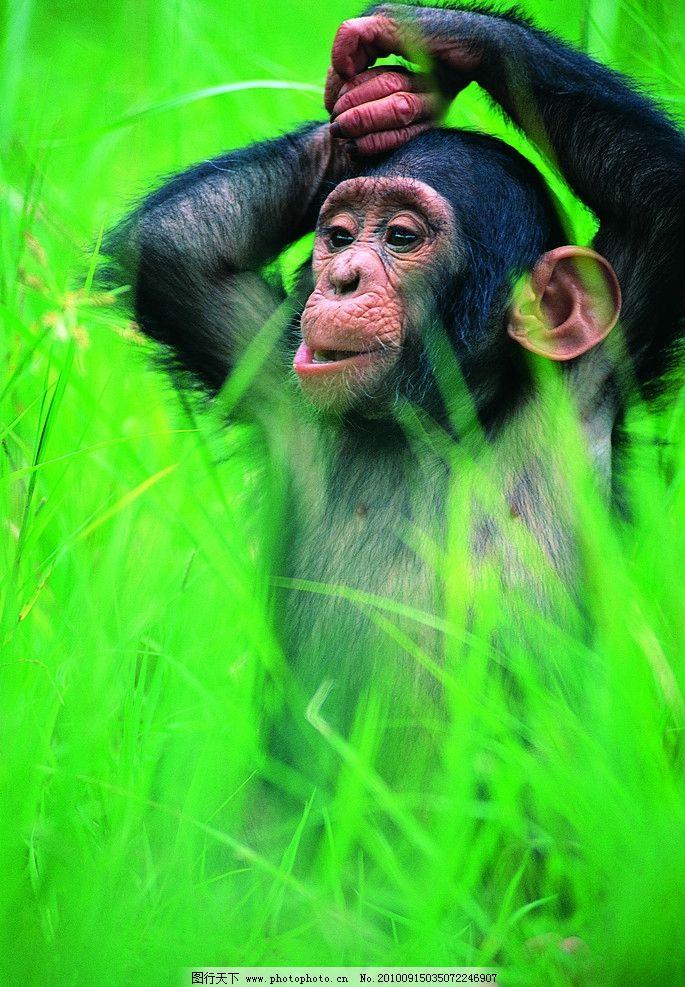 猩猩 大猩猩 小猩猩 猴子 动物 野生动物 生物世界 摄影