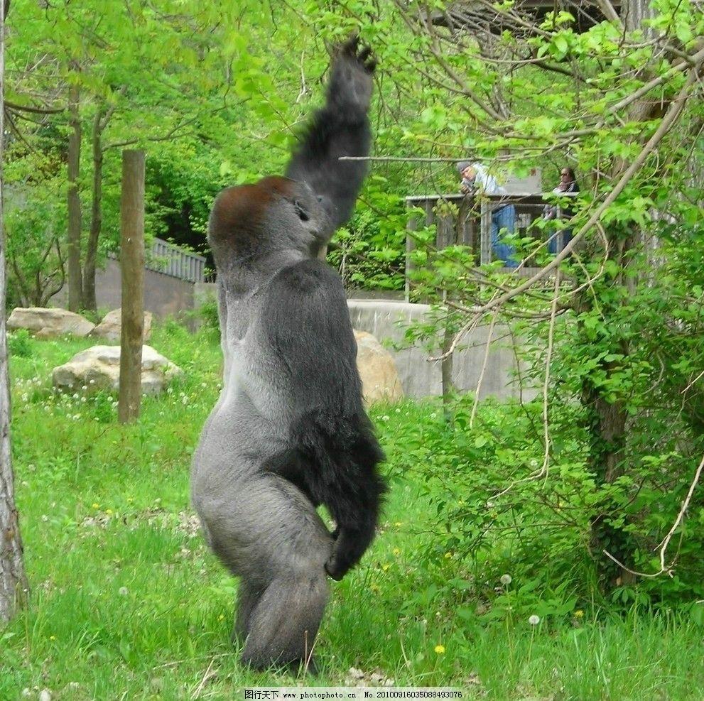 大猩猩 动物图片素材 陆地动物 哺乳动物 灵长类动物 兽类 摄影图片
