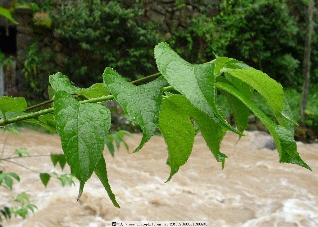 树叶 绿色 黄水 叶子 树木树叶 生物世界 摄影 180dpi jpg