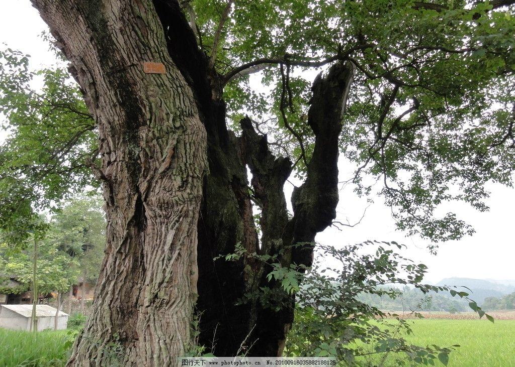 顽强的珍稀古树图片_树木树叶_生物世界_图行天下图库