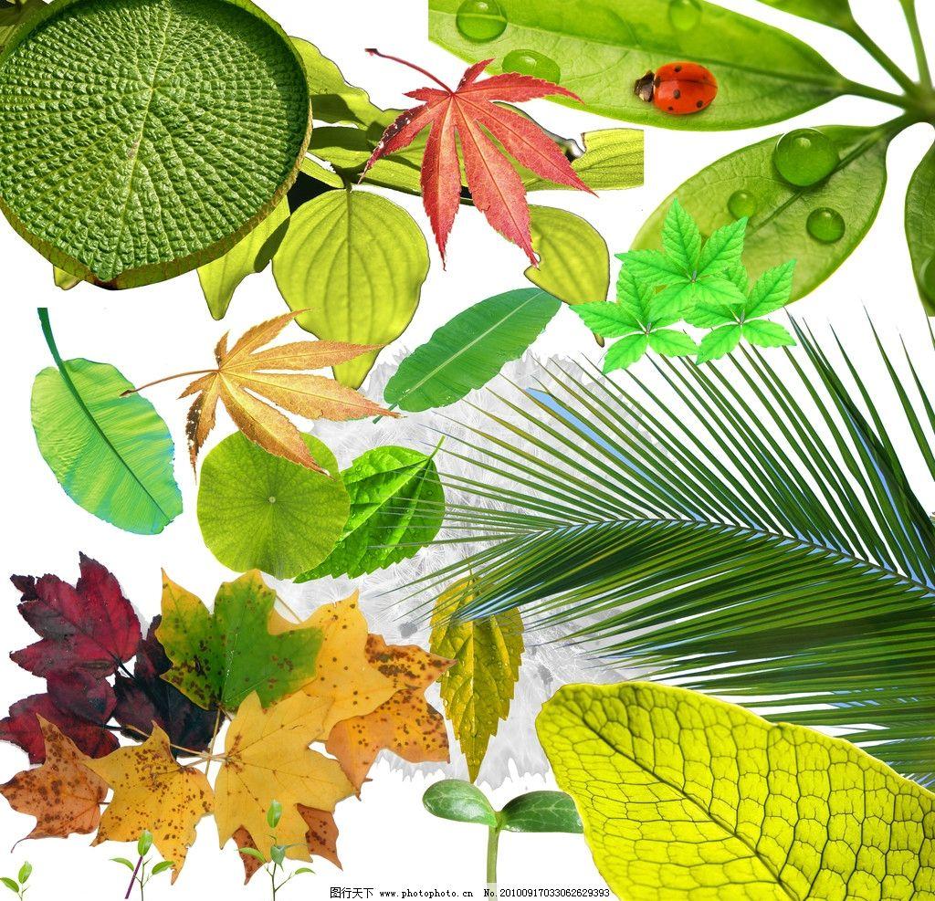 树叶 银杏叶 枫叶 四叶草 三叶草 黄树叶 梧桐叶 心型树叶 花叶 枯叶