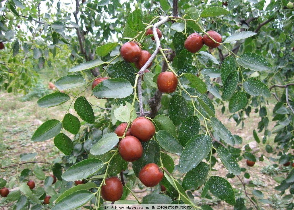 红枣 枣 绿枣 绿叶 树枝 树 树干 绿树 叶子 摄影 自然 田园风光 自然