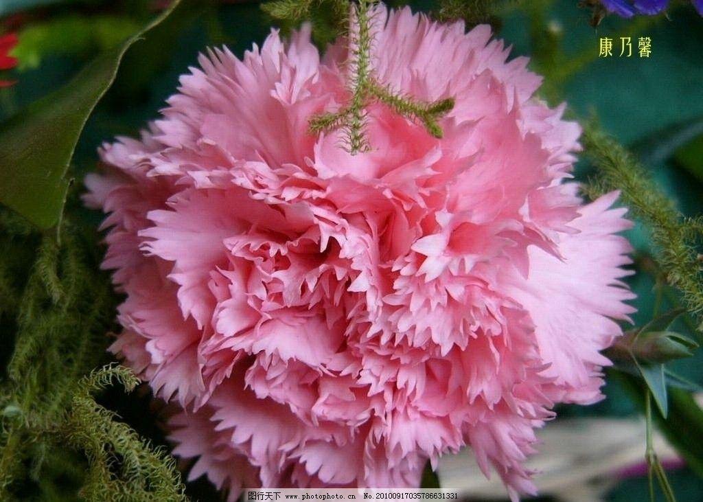 康乃馨 花 鲜花 花瓣 花朵