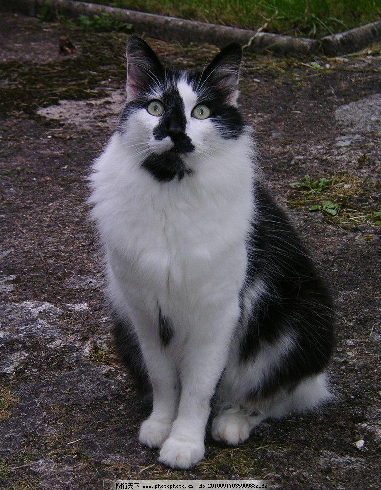 漂亮的猫 动物图片素材 陆地动物 哺乳动物 家养动物 黑白相间的猫