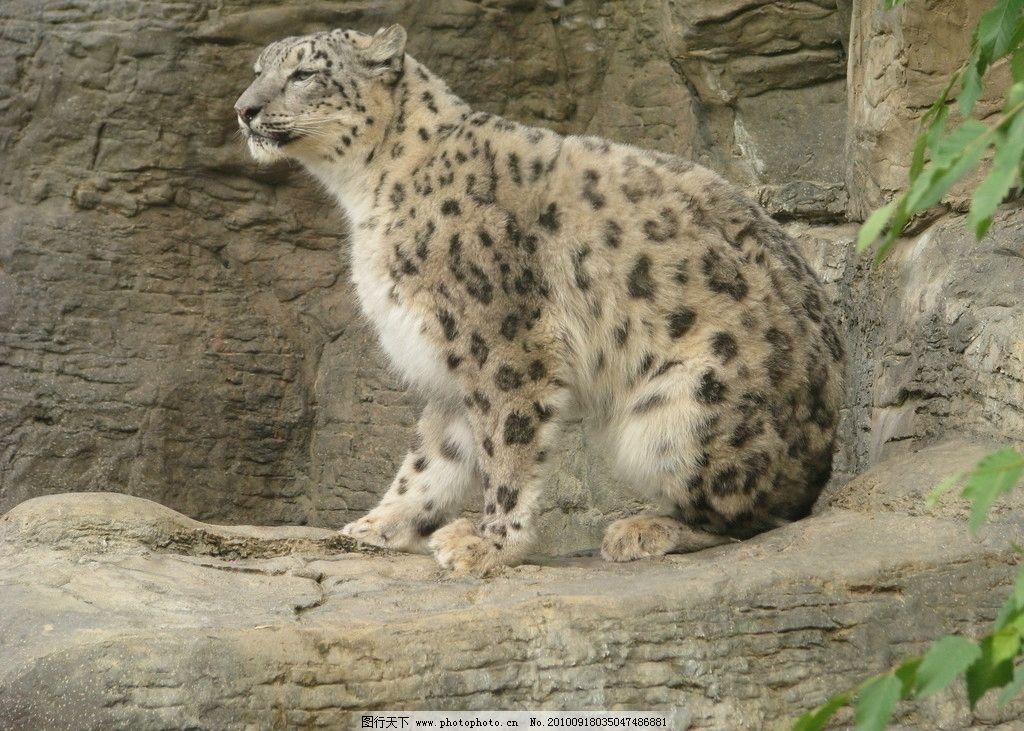 雪豹 动物图片素材 陆地动物 哺乳动物 猫科动物 豹子 豹 兽类 动物
