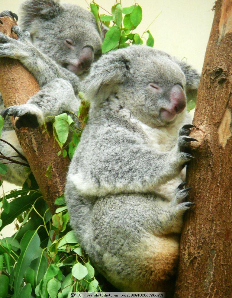 树熊 考拉 澳洲 两只 睡觉 番禺 长隆 野生动物 生物世界 摄影 72dpi