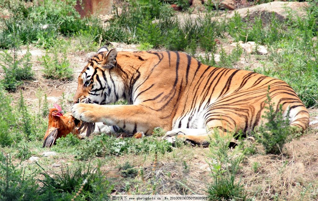 虎食 虎吃鸡 喂养 老虎 野生动物 生物世界 摄影 72dpi jpg
