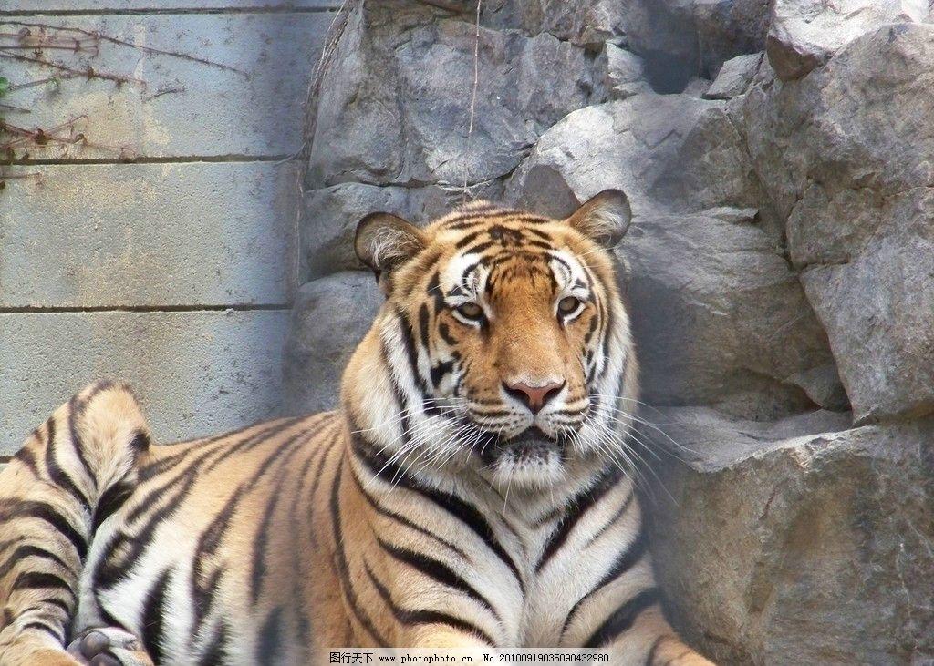 老虎 动物图片素材 陆地动物 哺乳动物 猫科动物 虎 兽类 动物摄影