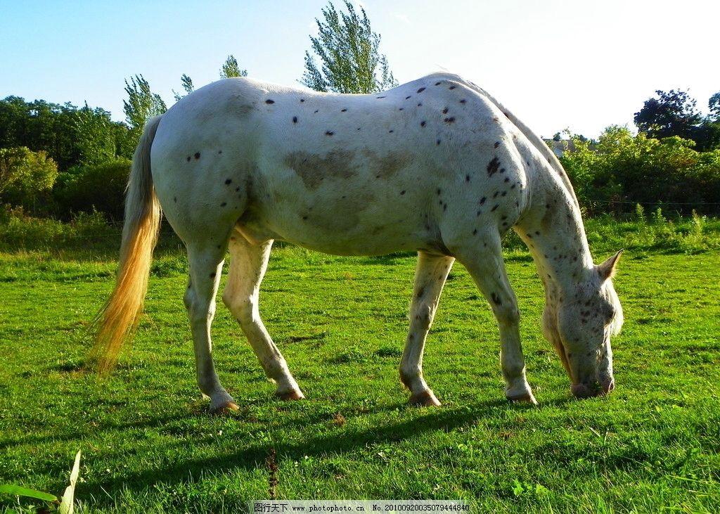 斑点马 动物图片素材 陆地动物 哺乳动物 漂亮的马 骏马 蓝天