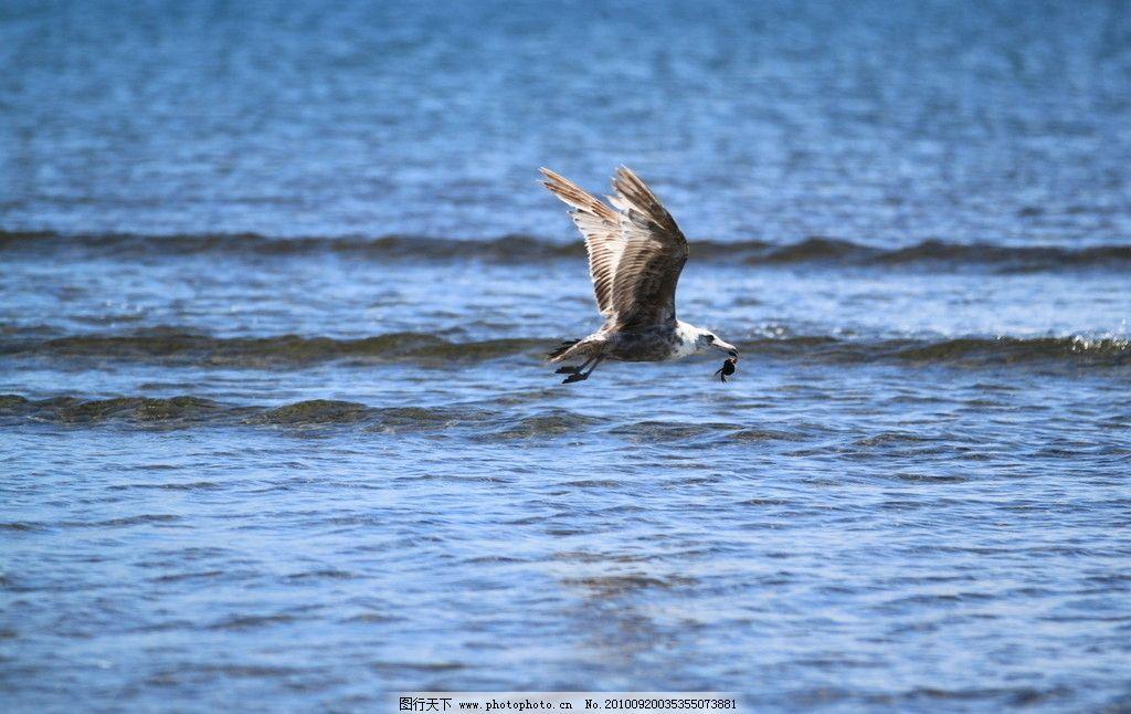 捕食的海鸟 动物图片素材 陆地动物 禽鸟动物 鸟类图片 海鸟 海鸥
