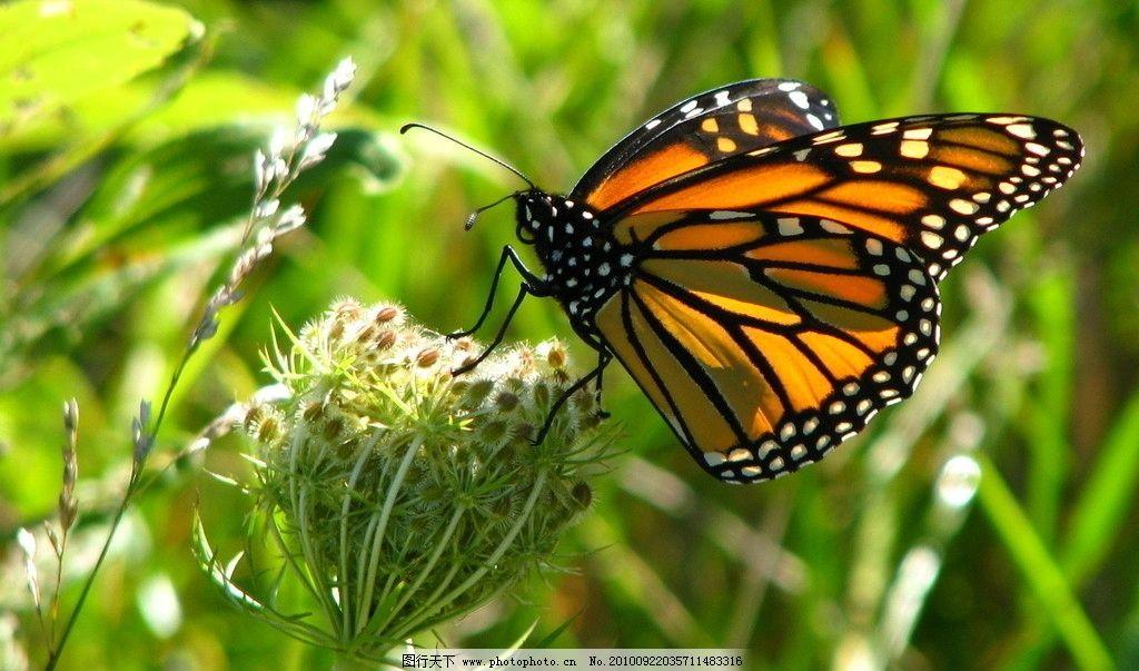 蝴蝶 采蜜 蓓蕾 绿叶 蝶类 昆虫 生物世界 摄影 翅膀 可爱 黑色 破茧