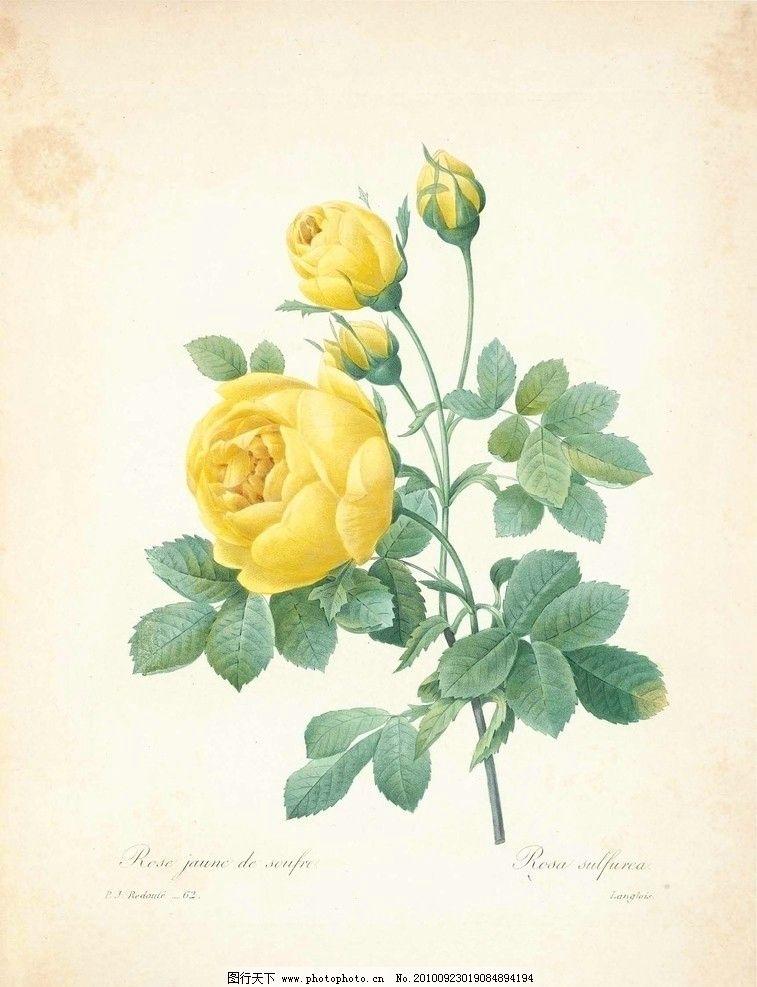 玫瑰 植物 图谱 绘画 工笔 画 枝叶 古旧 欧式 艺术 黄 花 植物图谱