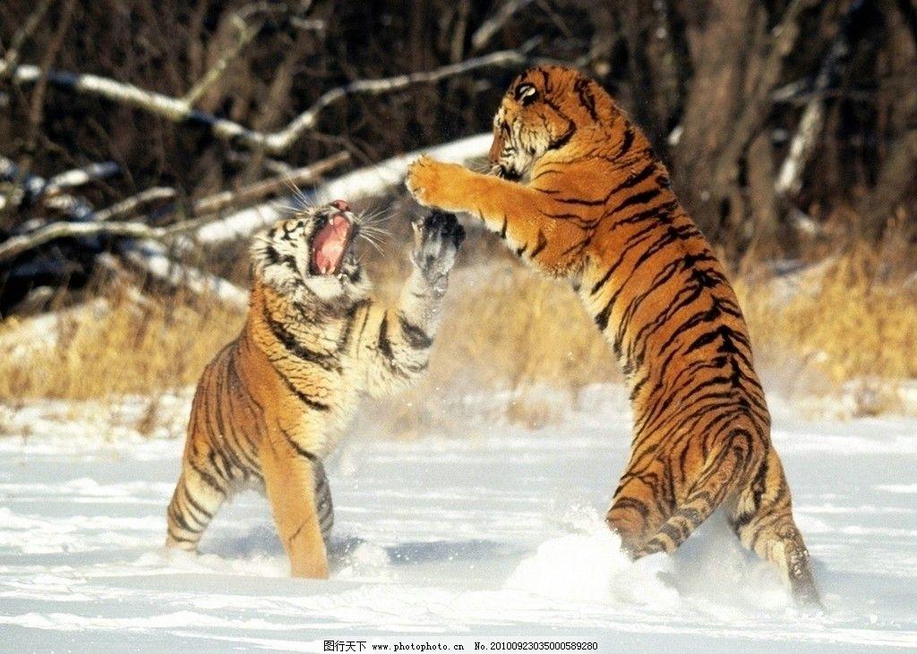 虎年 虎年吉祥 节日素材 生肖 虎 威猛动物 王者 高清老虎 野生动物