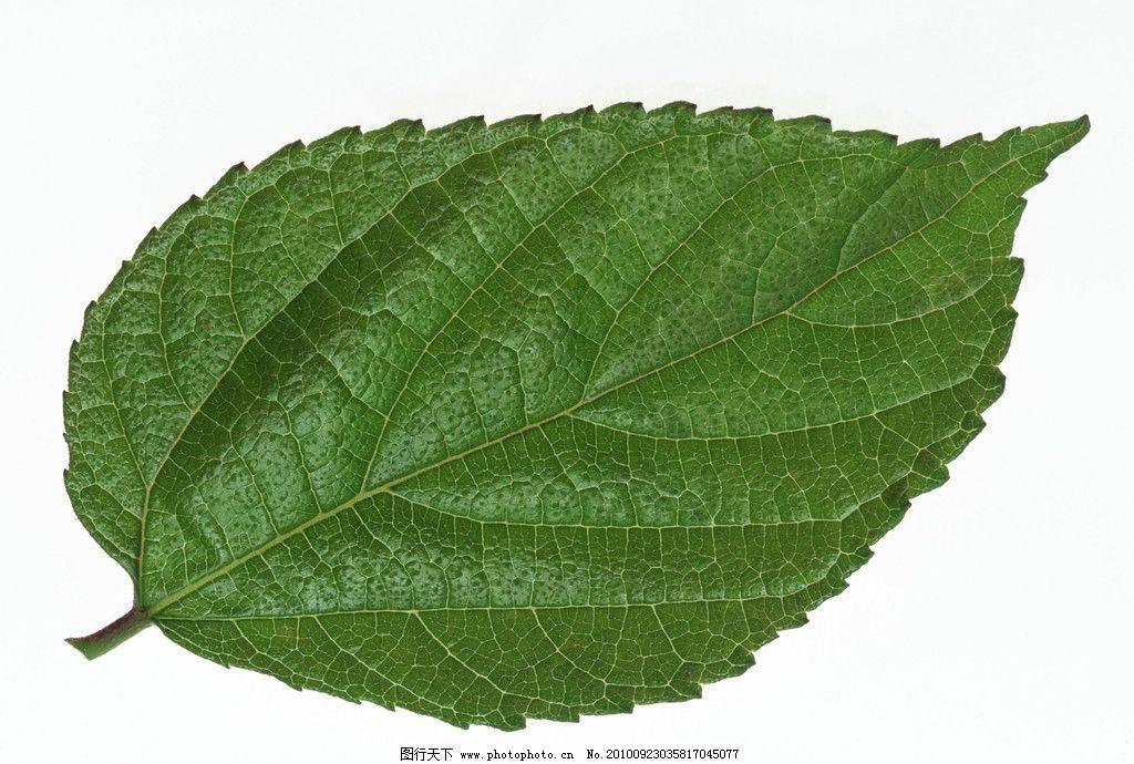 叶子 图片素材 植物 叶媚 花草 摄影图库 树木树叶 生物世界 摄影 350