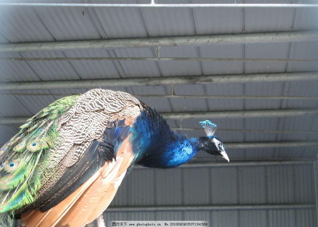 孔雀 动物图片 动物摄影