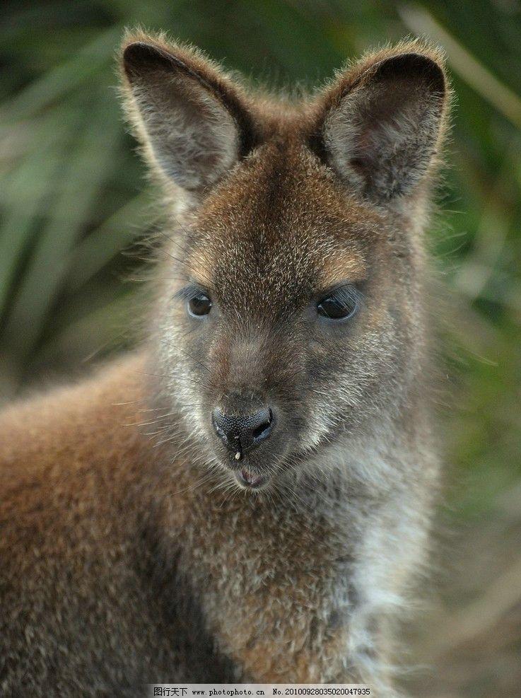 袋鼠 动物图片 动物摄影 陆地动物 哺乳动物 动物素材 动物图片专辑