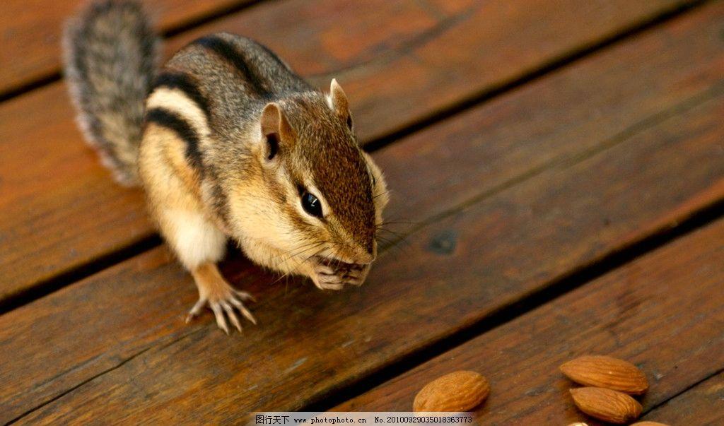 花栗鼠 老鼠 鼠类 宠物 可爱 野生动物 生物世界 摄影