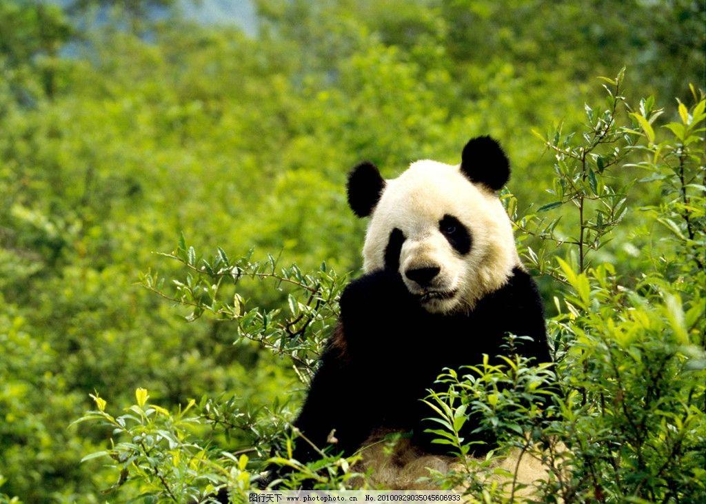 熊猫 可爱 保护动物 野生动物 一级保护动物 濒危动物 生物世界