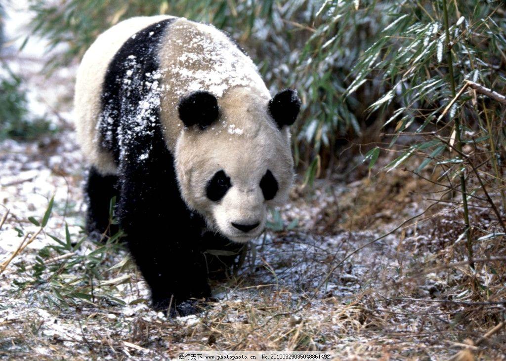 熊猫图片_野生动物_生物世界