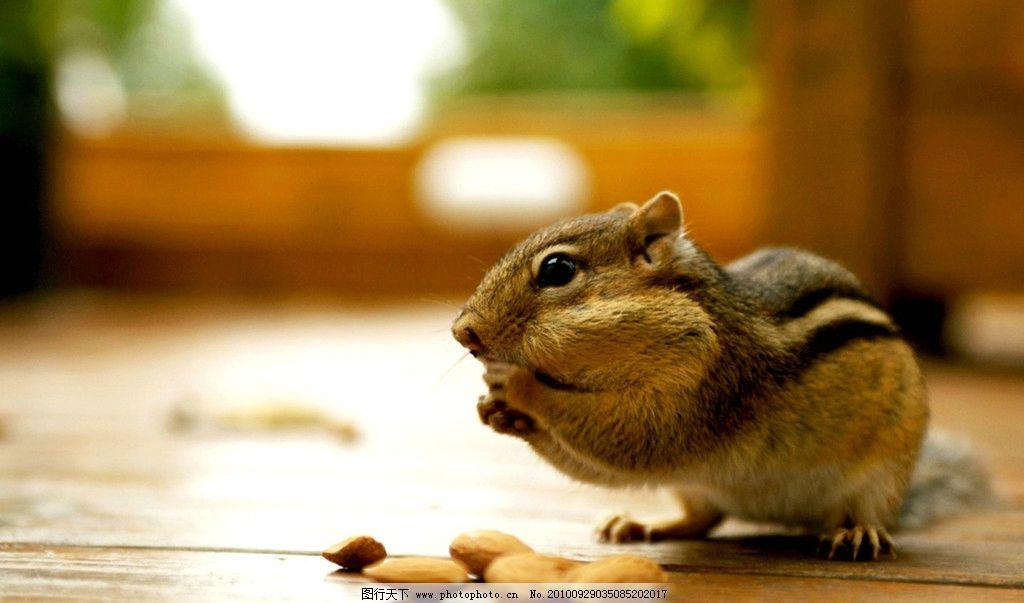花栗鼠 老鼠 鼠类 宠物 可爱 野生动物 生物世界 摄影 180dpi jpg