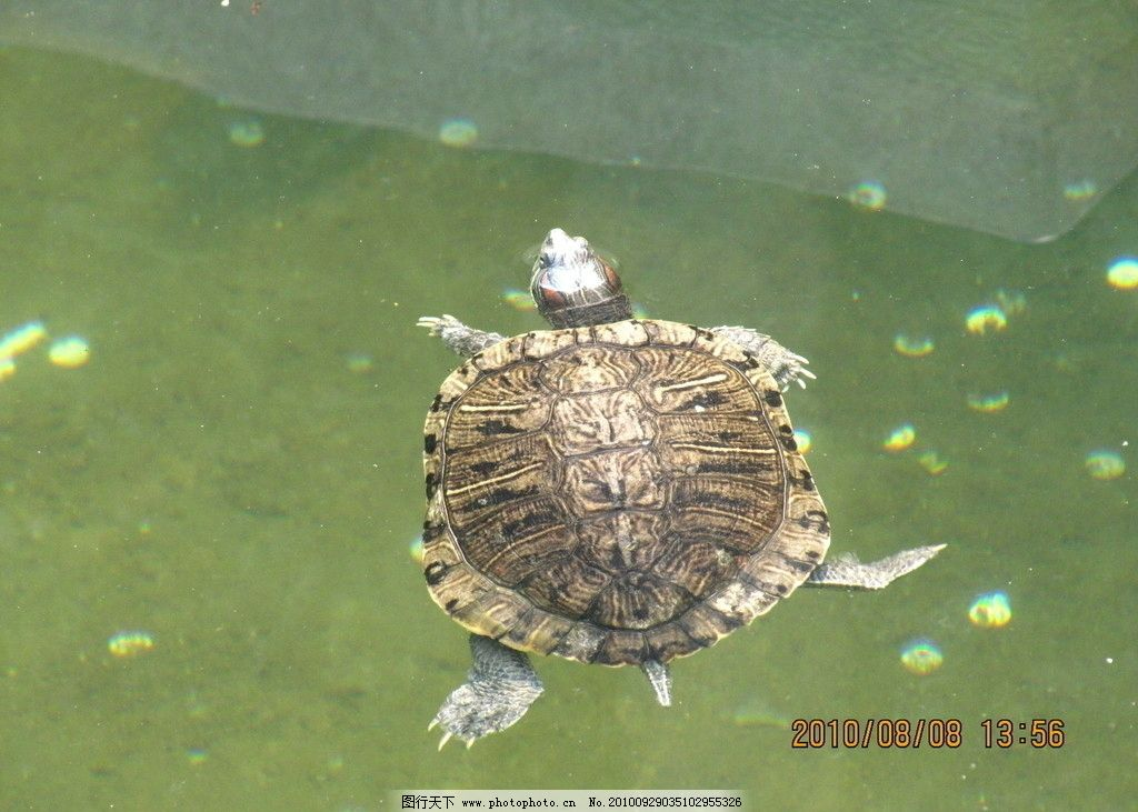 巴西龟 游泳 龟壳上的纹路 海洋生物 生物世界 摄影 180dpi jpg图片