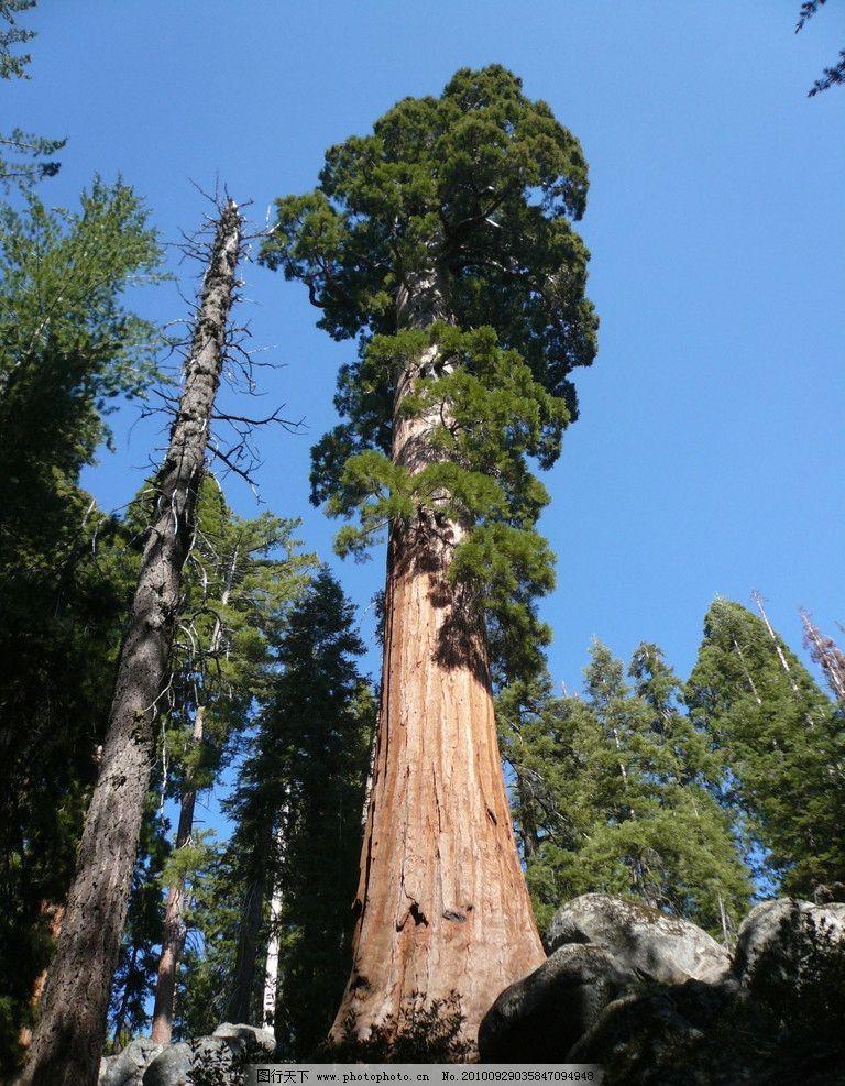 红杉 摄影图片 摄影素材 树木图片 树木 红杉树 大树 杉木 杉树 树木