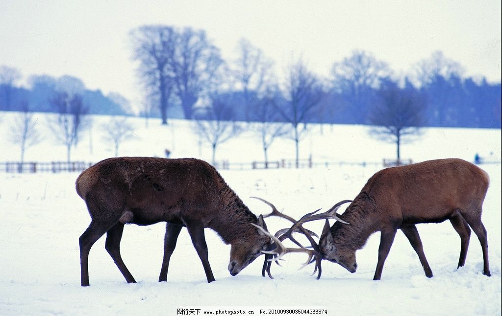 中的鹿 天空 森林 丛林 树木 雪 雪地 雪景 鹿 角斗 战斗 野生动物